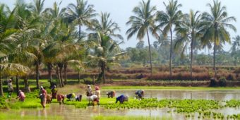 south india ricefield